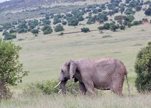 Elephant heads to the plains