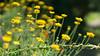 Dandelion Wine #8 (gorelin) Tags: sony alpha a7ii a7 ilce7m2 zeiss fe55f18za 55mm summer flowers butterfly ogrod botaniczny botanical garden powsin