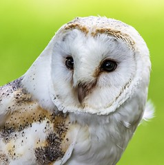 Kevin the barn owl (andymulhearn) Tags: 150600mmf563dgoshsm|c eos7d2 flickrbirds canon british wildlife centre