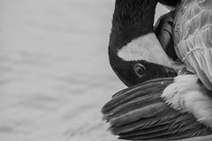 DSC_0706 (John Fenner) Tags: nikon d750 200500mm f56 afs vr ed full frame fx regents park london boating lake birds nature natural wild
