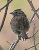 Perched pretty (woodwindfarm) Tags: song sparrow sundaylights