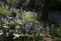 Bluebells In Lister Park (Mel_is_Moving) Tags: epl6 olympus pen outside flowers purple outdoor leaves blue bluebells bradford westyorkshire uk