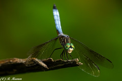 Hunting Perch (Ronda Hamm) Tags: insect dragonfly eaglecreekpark canon 100400mkii 7dii nature