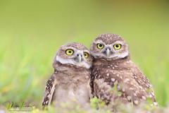 Two Of A Kind (Megan Lorenz) Tags: burrowingowl owl owlet two bird avian birdofprey nature wildlife wild wildanimals florida mlorenz meganlorenz