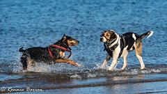 face off (RCB4J) Tags: ayrshire clydecoast firthofclyde irvinebeach jakob rcb4j ronniebarron scotland sigma150500mmf563dgoshsm sonyilca77m2 art babygrace beach dobermanterrier dogs fun photography play playing sand siameselurcher traile trailhound