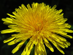 IMG_4699 5-26-2018 (PGK88) Tags: yellow macro flower dandelion closeup petals plant nature outdoors spring springtime bloom blooming blossom bright 2018 365 pgk88