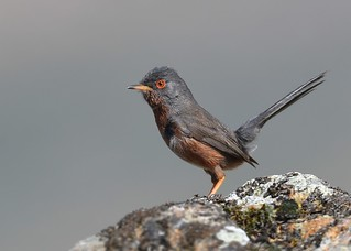 Toutinegra-do-mato / Dartford Warbler