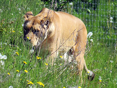 IMG_0028 (duncansmith50) Tags: yorkshirewildlifepark lions polar bears black rhino tigers giraffes doncaster