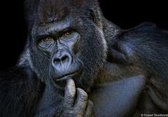 Mishindi Eyes (Robert Streithorst) Tags: cincinnatizoo gorilla male mishindi robertstreithorst silverback zoosofnorthamerica