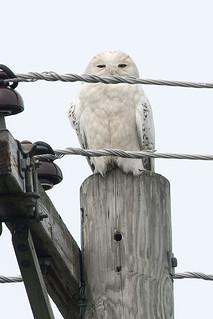 MI: Second Snowy Owl