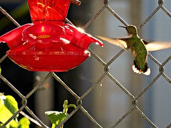 Sunset's Blurr (clickclique) Tags: bird hummingbird feeder sunset blurr wings fence inexplore