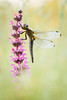 Libellula fulva (Marcin Błoch) Tags: afsdxmicronikkor85mmf35gedvr nikond7200 insect flower dragonfly butterfly colors spider naturallight green yelow meadow forest river light
