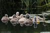 _KJM5396_20180601_142557 (KJvO) Tags: achterhoek cygnets groenloscheslinge jongezwanen knobbelzwaan meddo muteswan nederland swan water zwaan