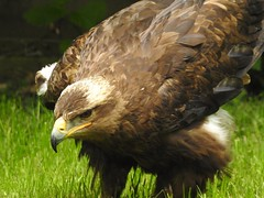 Steppe Eagle (Simply Sharon !) Tags: steppeeagle eagle raptor bird birdofprey preditor hawkconservancytrust