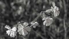 black and white campion (HHH Honey) Tags: sonyα7ii flowers macro wildflowers white campion blackwhite bw minolta minolta100mmf28macrolens
