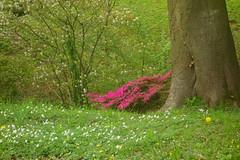 Hidden Rhododendron (Dave Roberts3) Tags: gwent wales newport beechwoodpark rhododendron dandelion magnolia lessercelandine woodanemone spring springtime