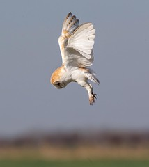 Hunting Barn Owl (Nigey2) Tags: owls wildbirds northumberland birds bird barnowl