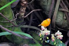Bloedel Conservatory - Vancouver, Canada (The Web Ninja) Tags: photo photography explore explored yvr vancouver vancity canon canon70d travel canada color colour colorimage bloedel blodel conservatory nature plants green parrot bird orange orangebird