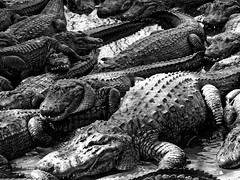 Watch your step (1 of 1) (John von Friedhof) Tags: 2what 3where 6imagetype florida mzuiko75300ii nouns olympusomdem10 reptile wildlife alligator animals blackandwhite elements johnvonphotography marsh northamerica propernouns reptiles swamp unitedstates water wildflorida