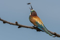 Merops apiaster  ♂︎ (Gruccione comune, European bee-eater). (Ciminus) Tags: naturesubjects aves ornitology nature ciminus birds afsmicronikkor105mmf28gedvrii ciminodelbufalo gruccione uccelli europeanbeeeaters oiseaux afsnikkor500mmf4gedvrii meropsapiaster wildlife ornitologia nikond500 coth5