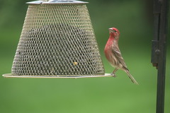 I am sure I have been 'catfished' - Orioles and House Finches - June 2nd and 3rd, 2018 (Saline Michigan) (cseeman) Tags: birds saline michigan orioles feeder oriolefeeder orange orioles062018 jelly orioleslovejelly oranges finches housefinches birdcatfishing catfishing062018 catfishing