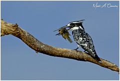 The Pied Fisher! (MAC's Wild Pixels) Tags: thepiedfisher piedkingfisher kingfisher fisher bird birdlife birder birdwatcher birdperfect birdsofeastafrica beautifulbird colourfulbird avian plumage feathers ornithology waterbird wildbird animal wildlife africanwildlife wildafrica wildanimal safari boatride lakebaringo greatriftvalley kenya macswildpixels cerylerudis ngc coth5 npc fabuleuse