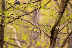7K8A7981 (rpealit) Tags: sparta mountain wildlife management area downy woodpecker bird