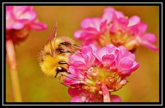 """""""Bees Are Getting Busy..."""" (NikonShutterBug1) Tags: nikond7100 tokina100mm bee insect entomology nature wildlife bokeh spe smartphotoeditor closeup macro flower flora fauna"""