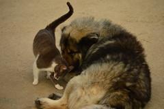 Friends (emina.knezevic) Tags: animals animaphotography pet pets petphotography nature dogandcat friendship sarplaninac