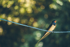 One Swallow Does Not Make a Summer (Inka56) Tags: single flickrfriday swallow bokeh rope 7dwf throughherlens