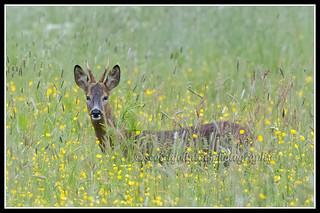 IMG_0006 Roe Deer Buck