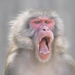 Emotion (SonjaS.) Tags: emotion emotions affe monkey brüllen schreien stuttgart wilhelma zoo animal tier 7dayswithflickr sonjasayer canon6d tele anger angrymonkey crazy