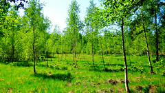 Young Spring Birch Forest (obscure.atmosphere) Tags: frühling spring primavera printemps 春 봄 deutschland germany hamburg sonnenschein sonnenlicht licht light ligero lumiere 光 빛 sunlight sunshine 日 태양 sunny sonnig natur nature naturista naturaleza 自然 자연 wald forest bosque selva foret 森林 숲 woods blätter leaves baum bäume tree trees plants pflanzen atmosphere atmospheric atmosphäre atmosphärisch exposure himmel heaven sky cielo cieux 天 하늘 dream traum fresh frisch nice schön sun sonne air luft green blue blau grün birch birke grassland grass