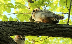"""""""Two for the price of one!!!"""" (bearbear leggo) Tags: sibblings owlets owls baby babies nature tree trees home explore exploring wildlife photography photographer ontario great horned feathers birds"""