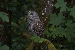 This is the reason all the jays were screaming (lamoustique) Tags: barredowl strixvaria chouetterayée salmoncreek vancouver washington usa
