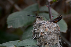 Allen's Hummingbird (linda m bell) Tags: bonellipark sandimas california 2018 birdwatching socal allenshummingbird nest