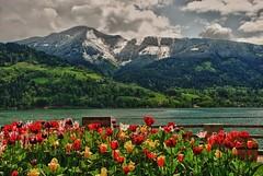Oben Neu-Schnee...unten Frühling (kh goldphoto) Tags: 2012 zellamsee österreich hdr frühling hohetauern nationalpark best panoramio138237072801600 tulpen