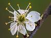 Schwarzdorn (1) (dr.klaustrumm) Tags: schwarzdorn prunusspinosa frühling rosengewächs natur
