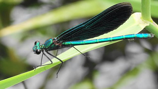 Tried to find a  Demoiselle Agrion at the local stream....part 2