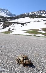 Rana temporaria (aspisatra) Tags: rana temporaria ranatemporaria grenouille france savoie anfibio