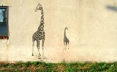 C'est de quel côté la Seine? (Robert Saucier) Tags: montréal montreal mur wall stencil streetart fenêtre window vitre glass cristal gazon grass girafe mileend img2355