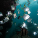 Monodactylus argenteus Silver batfish