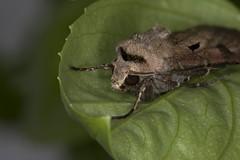 Eulenfalter (rogerkreja) Tags: falter spanner subtribus agrotina agrotis exclamationis noctuinae tribus agrotini eulenfalter