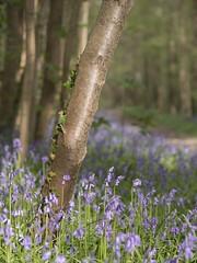 Tapis pour cœur tendre (Titole) Tags: trunk bluebells trees titole nicolefaton path