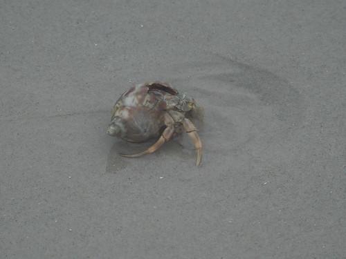 Hermit Crab (Superfamily Paguroidea)