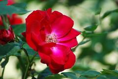 Meines Herzens Lust, Herr Jesu Christ (amras_de) Tags: rose rosen ruža rosa ruže rozo roos arrosa ruusut rós rózsa rože rozes rozen roser róza trandafir vrtnica rossläktet gül blüte blume flor cvijet kvet blomst flower floro õis lore kukka fleur bláth virág blóm fiore flos žiedas zieds bloem blome kwiat floare ciuri flouer cvet blomma çiçek