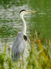 Heron 41 (Magic Moments by Pippa) Tags: british wildlife nature nikon p900 birds heron