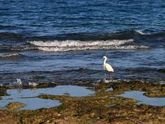 Tunisia - fishing at the coast (reinh_3008) Tags: tunesien tunisia tunesia beach activity reiher silberreiher küste coast fishing heron white silver bird wild ocean brandung