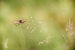 IMG_6757.jpg---trioplan-100mm-à-f-2,8---papillon web