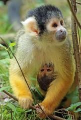 squirrelmonkey apenheul BB2A0210 (j.a.kok) Tags: doodshoofdaapje squirrelmonkey mammal monkey animal aap southamerica zuidamerika primate primaat zoogdier dier apenheul moederenkind motherandchild